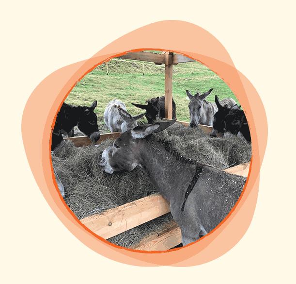 Семейството на щастливите магарета е многочислено. Всички са много дружелюбни и с удоволствие обикалят планините с гостите на къщата. Когато не са заети с разходки шумно си премляскват сено и почиват в хамбара.