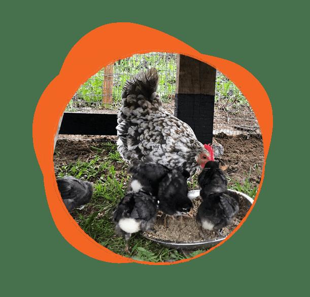 Per non parlare dei nostri amici pennuti a cominciare da Madame Кокò e dei suoi pulcini, ora galline adulte. Un paio di famiglie di rondini nidificano nelle nostre finestre. L'unica cosa che manca è una famiglia di cicogne. Abbiamo allestito una piattaforma per il nido e speriamo che un giorno le nostre cicogne verranno e si stabiliranno qui.